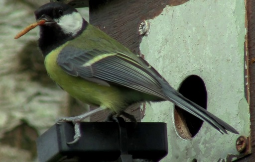 Parent bird with mealworm - picture extracted from the Bird Box 2014 video